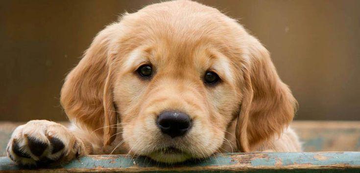 Raza de perros: Golden Retriever - http://www.mundoperros.es/raza-de-perros-golden-retriever/