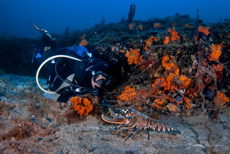 Homarus gammarus (European Blue Lobster) | Underwater Photography by Yiannis Iliopoulos