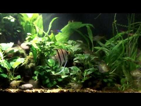 Angel Fish in 125 Gallon Fish Tank  Moved the Peru Angel Fish to a bette...