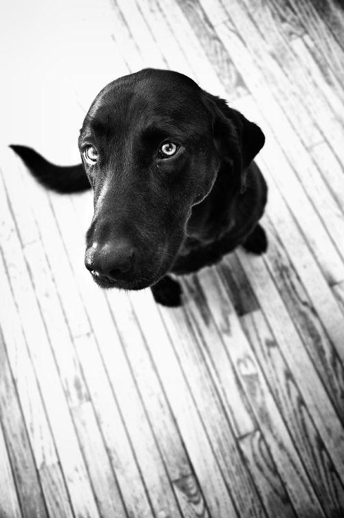 Awesome photo  #Labrador