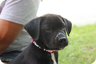 Cumming, GA - Labrador Retriever Mix. Meet Miracle a Puppy for Adoption.