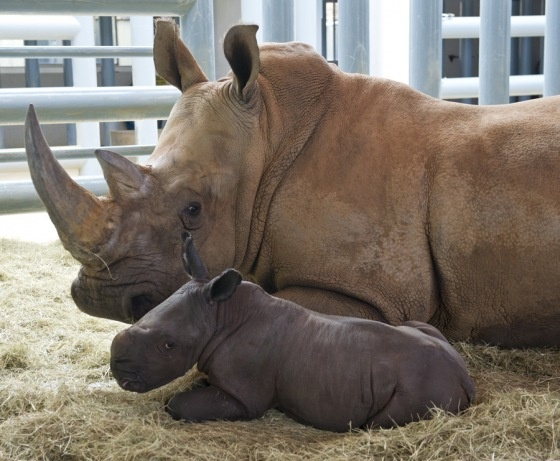 Baby rhino = super cuteness!!!: Babies, Walt Disney, Disney Animal Kingdom, White Rhinos, Mom Baby, Mothers Day, Baby Rhinos, Unusual Animal, New Baby