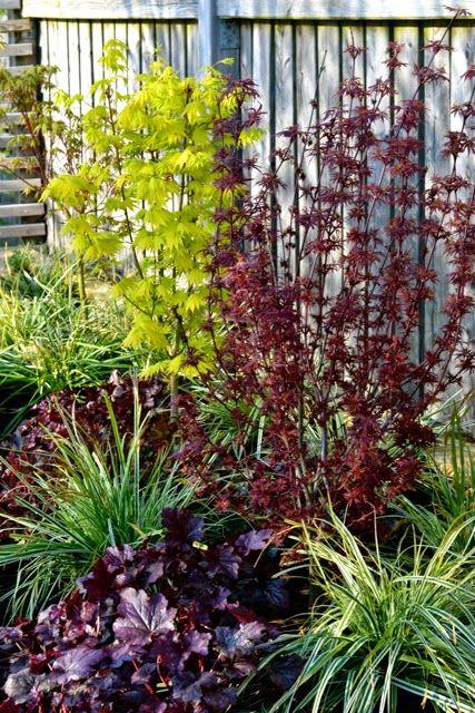 Cattis och Eiras Trädgårdsdesign Japanese Maples, Carex Everest and Heuchera in a colorful mix.