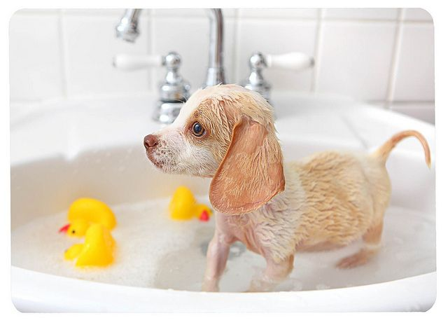 D'awww, beagle puppy taking a bath.