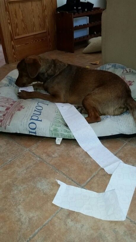 My very own Andrex puppy.