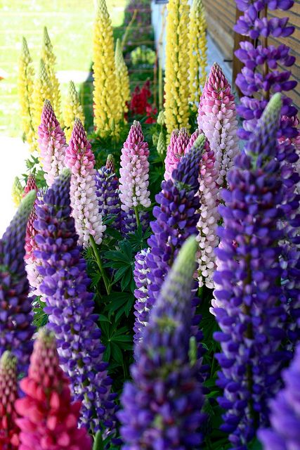 """LUPINS - Lupines are symbolic of imagination. The name """"lupinus"""" actually means """"of wolves"""" due to the mistaken belief that ancient peoples had that lupines robbed the soil of nutrients. The fact is that lupines add nitrogen to the soil. The Romans used lupines for fertilizer and ate the high-protein seeds."""