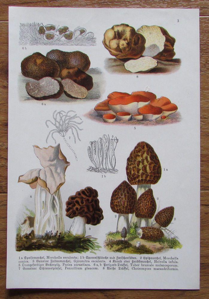 Botanischer Druck - Pflanzen Botanik Druck Atlas des Pflanzenreichs ca. 1920 3