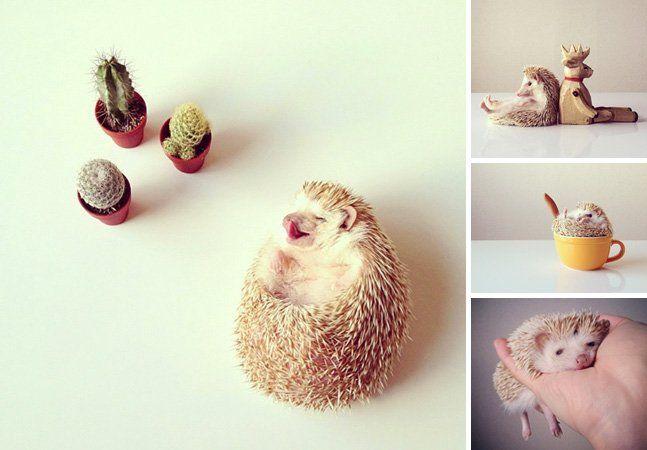 Já conhecemos vários animais famosos no Instagram, tem cão, gato e até porco. Mas com certeza o dono das fotos mais inusitadas, divertidas e fofas é o instagram de Darcy, um ouriço-terrestre (Erinaceus europaeus),parente do porco-espinho, que já tem quase 400 mil seguidores. Darcy tem 3 anos de idade, e desde então sua donaShota Tsukamoto, que mora no Japão, começou a postar fotos do bichinho, sempre com muita criatividade, usando objetos diversos, como sapato, mini-cadeiras, canecas e…
