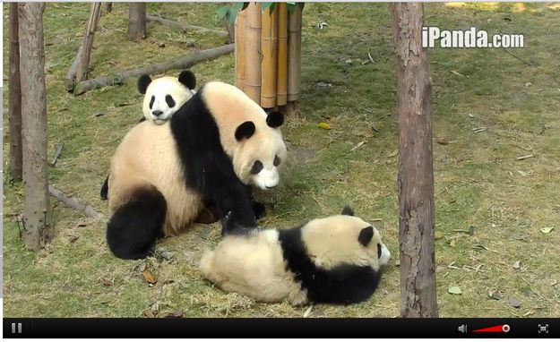 When these cubs were chilling with their mum and the little one was like 'Oh hai'. | Community Post: 9 Moments When The Pandas On Chengdu's Panda Cam Were Too Cute To Handle