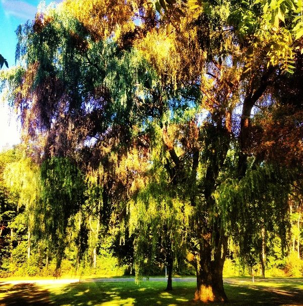 50 Best Willow Trees.. Images On Pinterest