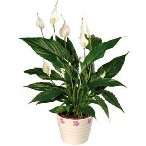 20 Beautiful Indoor Flower Plants Gardening Indoor