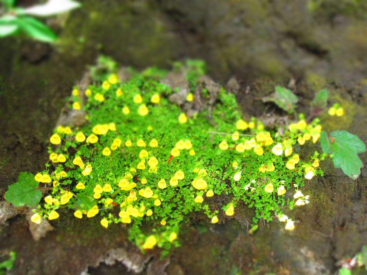 Calceolaria tenella... en Rancho Vaitea