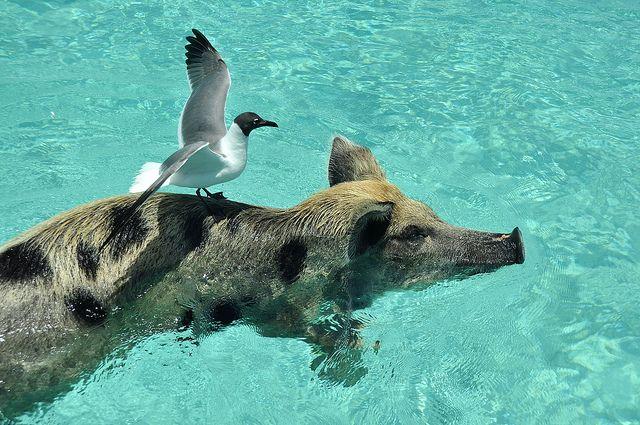 cochons nageurs des bahamas 9   Les cochons nageurs des Bahamas   porc photo natation nageur image ile cochon bahamas
