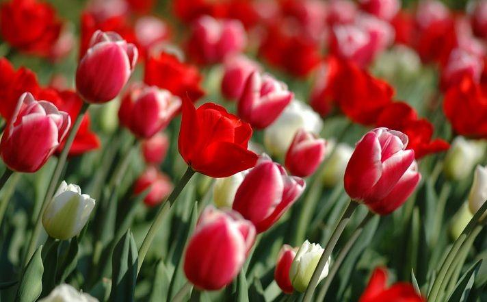 bunga tulip di indonesia,harga bunga tulip,budidaya bunga tulip,filosofi bunga tulip,arti bunga tulip,jual bunga tulip,manfaat bunga tulip,ciri ciri bunga tulip,