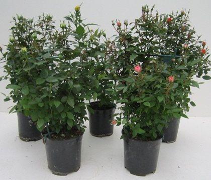 ROSA MINI DIAM.19 SPALLIERA  Florpagano di Antonio Pagano (piante e fiori) www.florpagano.com