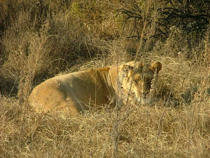 Askari Game Lodge - Typical lazy afternoon - lioness just chilling 😊