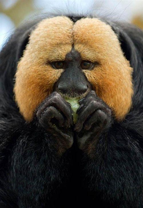 What exactly is it - not sure.: Whitefac Saki, Animal Kingdom, Faces Saki, White Fac Saki, Animal Track, Wildlife, Saki Monkey, The Zoos, White Faces