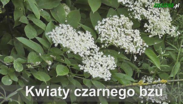 Kwiat Cz Bzu Copy Herbs Plants Miod