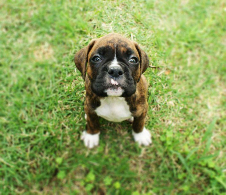 Filhote de Boxer Macho! #boxer #puppy #filhote www.petcaramelo.com
