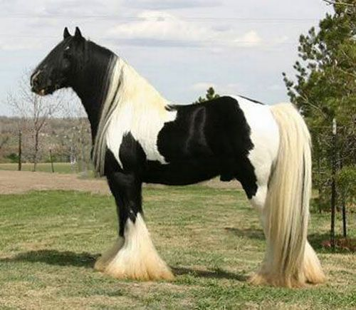 Gypsy Cob — There are still a variety of types of Gypsy horses being bred in Great Britain, Europe and now the United States, and these have been given several different names such as Irish Tinker, Trade Cob, Traditional Cob, Gypsy Vanner, Gypsy Cob, Irish Cob and Romany Horse. All these names are used to describe the type of horse which the Gypsies have bred and used in the British Isles for generations.