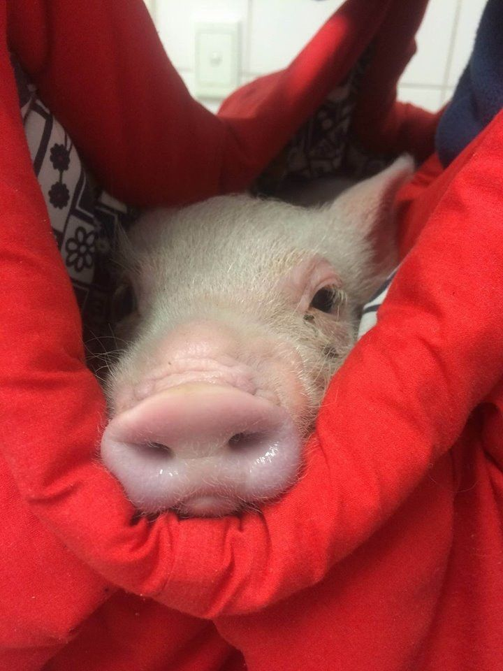A pig named 'Wombat' saved herself by leaping from the truck bound for the slaughterhouse.
