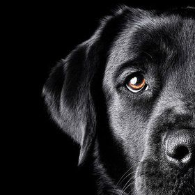My new best friendBrown Eyes, Black Labrador Retriever, Black Dogs, Black Lab Love, Black On Black, Black Beautiful, Photography, Black Labs, Animal