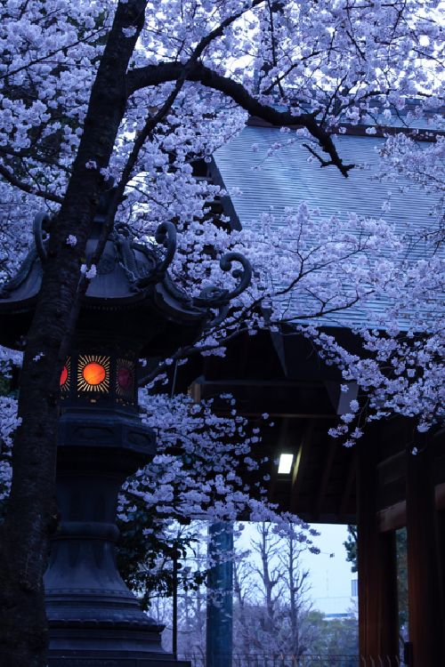 Cherry Blossoms surround a temple...