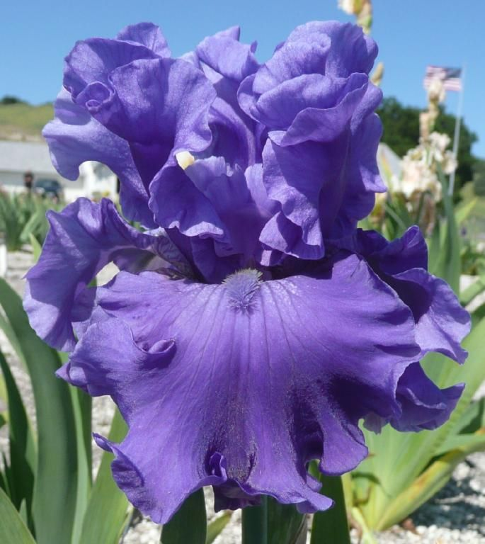 iris germanica 39 merchant marine 39 keppel 2006 real bearded irises purples lilacs and mauve. Black Bedroom Furniture Sets. Home Design Ideas