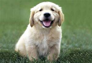 smile: Puppies Pictures, Animals, Golden Retrievers, Old Dogs, Happy, Pets, Puppys, Animal Friends, Dogs Photo