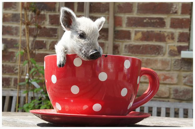 TOO MUCH CUTENESS!   15 Pictures Of Teacup Pigs With Actual Teacups