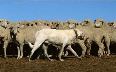 アメリカのモンタナ州で働くアクバシュという種類の牧羊犬。牧羊犬はいろいろな面で人間の役に立っている。まず、頭が良く活発なため、ペットとして最適だ。家畜に向かってほえたり、まわりを走り回ったり、かかとをかんだりして群れを操る牧羊犬もいる。番犬としても優れていて、軍隊や警察で働いたり、個人の護衛もする。