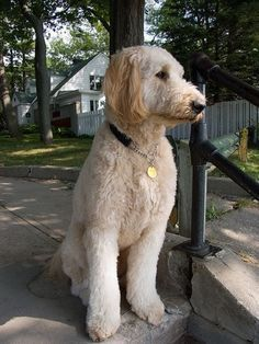 goldendoodle haircut - Google Search