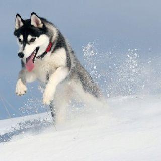Siberian Husky jumping through the snow.