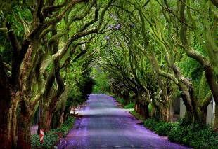 Stradina con alberi di jacaranda - Sentieri incantati