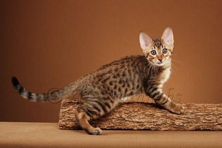 F4 Savannah Kittens
