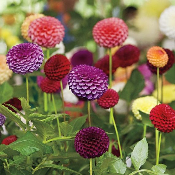 Don't Miss The Central States Dahlia Society Show