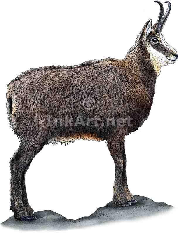 Full color illustration of an Alpine Chamois (Rupicapra rupicapra)