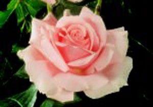 17 best images about hybrid tea rose on pinterest shrub. Black Bedroom Furniture Sets. Home Design Ideas