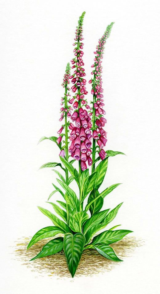 9 best foxglove images on pinterest botanical