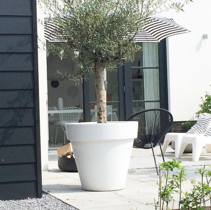 Garden * olijfboom - witte pot