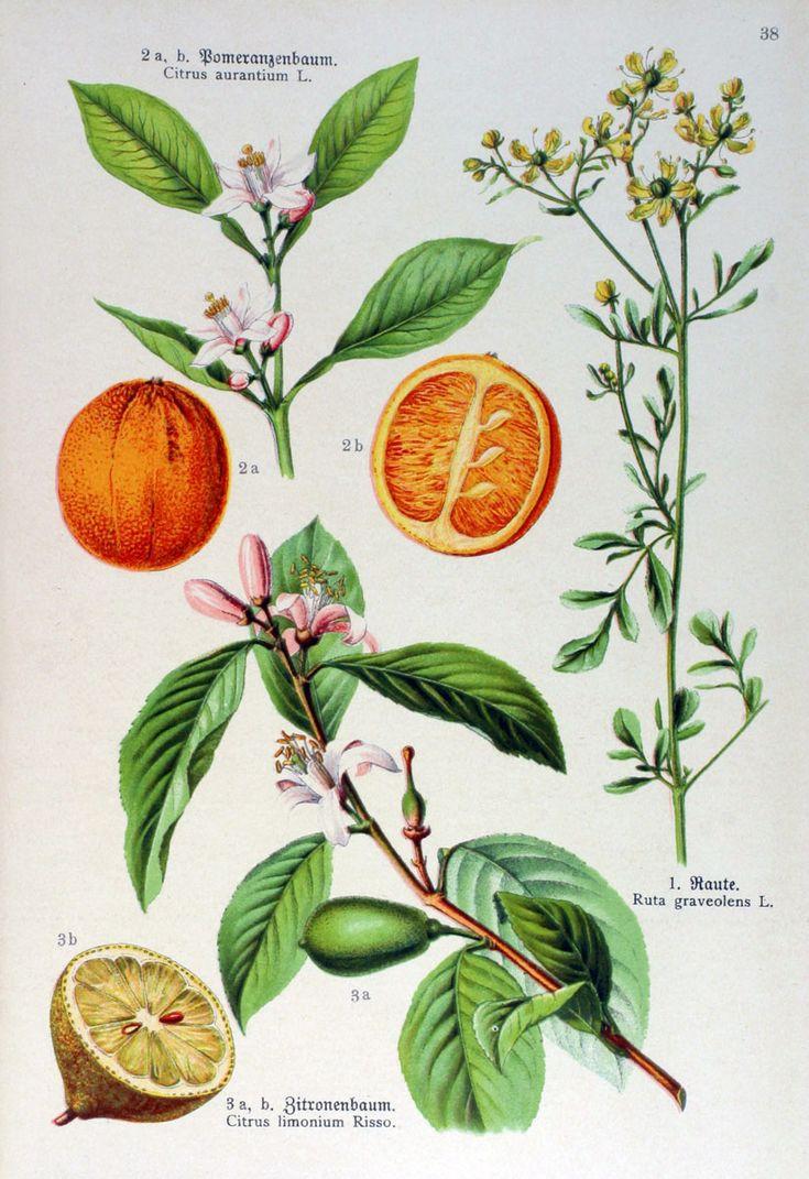 img/gravures anciennes de fleurs/gravure couleur ancienne de fleur - Ruta graveolens; Citrus aurantium; Citrus limonium.jpg