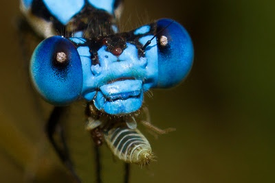Damselfly head. Note the space between the eyes (dragonfly eyes meet at the top of the head)