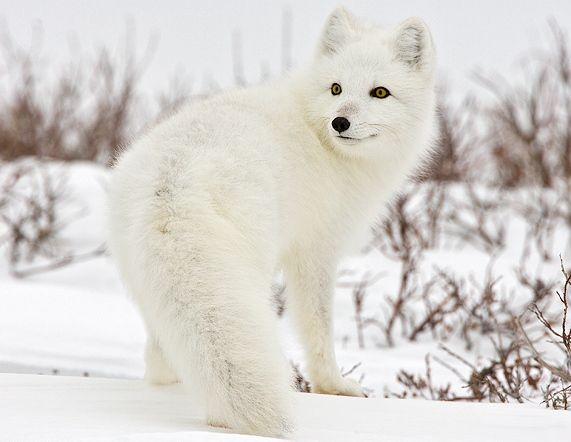 Google Image Result for http://1.bp.blogspot.com/_W90V87w3sr8/TRQg52Akg_I/AAAAAAAAAg4/bzych11X1dA/s1600/arctic-fox-canada.jpg