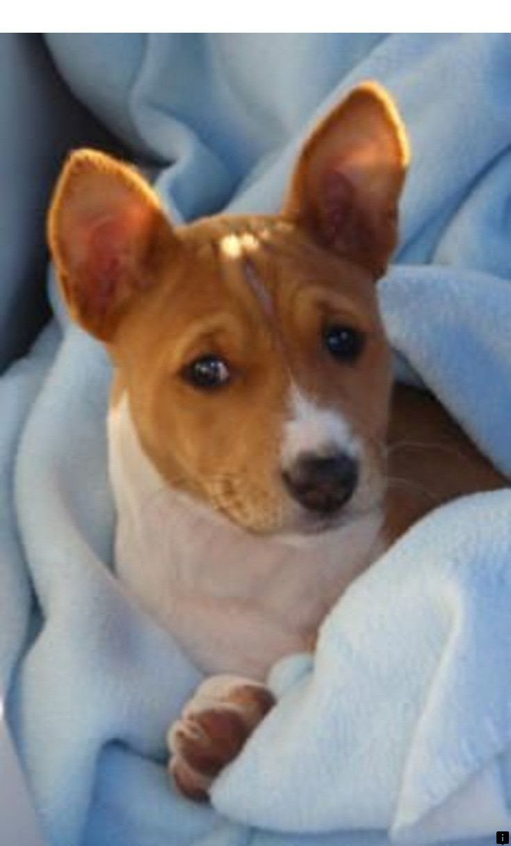 Read Information On Pitbull Puppies For Sale Simply Click Here To Find Out More The Web Presence I Pitbull Puppies Basenji Puppy Yorkshire Terrier Puppies