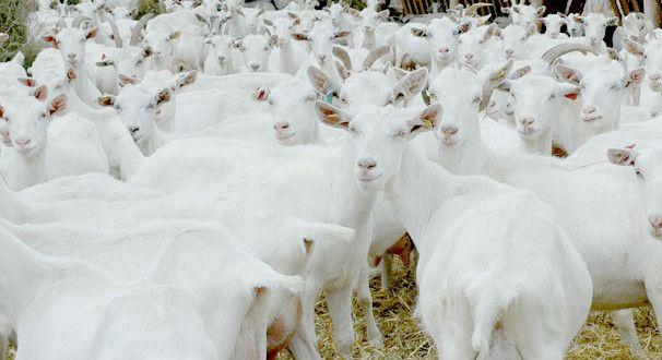 Keçi Sütü Devlet Desteği