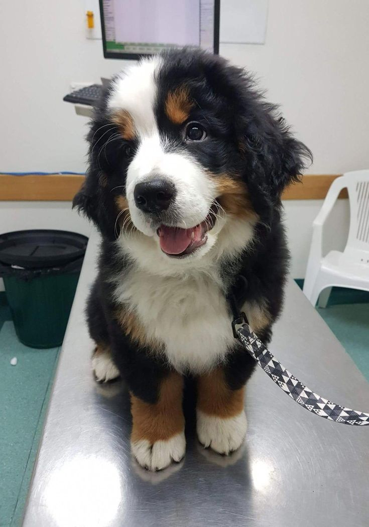 how to deshed a bernese mountain dog