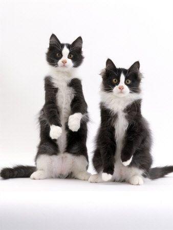2 cute: Cats Cats, Kitty Cats, Kitten, Tuxedo Cats, Black And White, White Cats, Black White, Kitty Kitty, Animal