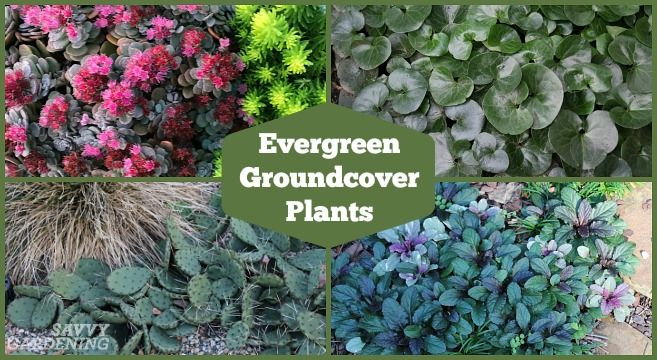 Evergreen Groundcover Plants 20 Choices For Year Round Interest In 2020 Ground Cover Plants Evergreen Groundcover Evergreen Plants