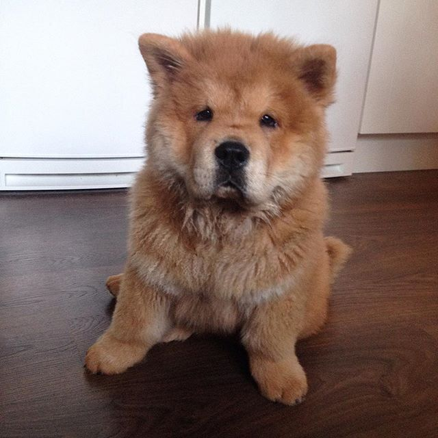 Chow chow puppy Horatio