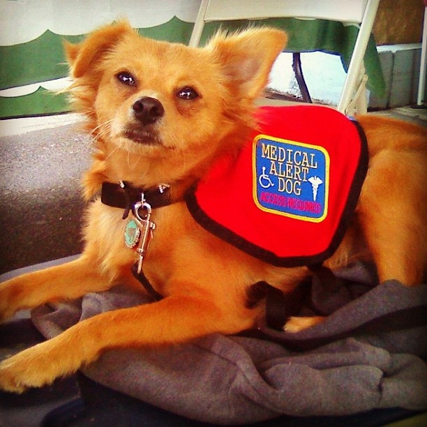 Small Dog Breeds For Psychiatric Service Dogs